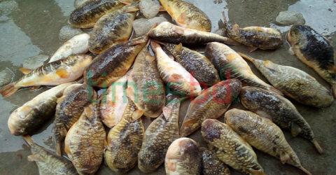 বিষাক্ত পোটকা মাছ খেয়ে বউ-শ্বাশুড়ির মৃত্যু